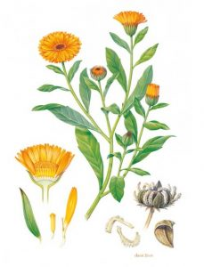 Calendula: Stick it where the sun don't shine!