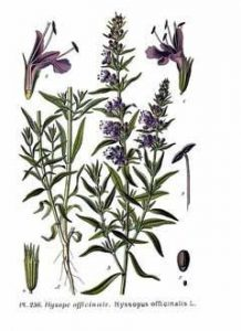 Hyssop: for health and hearth