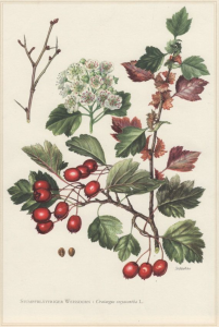 Hawthorn: by its own pricking