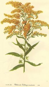 goldenrod botanical print herbal medicine